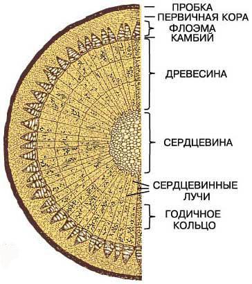 Строение древесины: макро- и микроскопическое + примеры в картинках