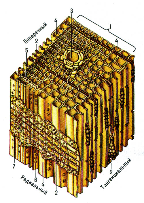 Микроскопическое строение хвойных пород