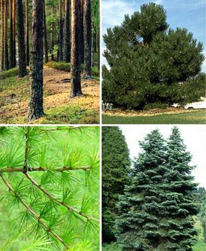 Мягкие породы древесины: сорта и их применение