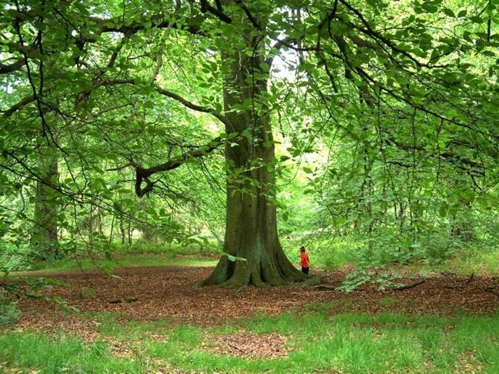 Древесина бука: свойства и применение